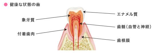 健康な状態の歯